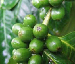 Green Coffee slimming pills