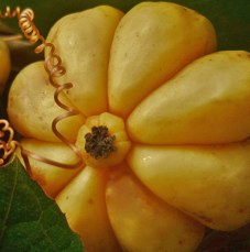 Garcinia Cambogia what does it look like