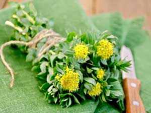 Rhodiola weight loss