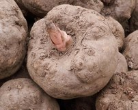 glucomannan-Konjac root