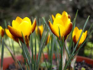 crocus extract